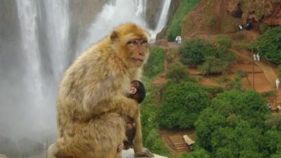 Ouzoud monkey